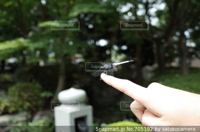 指にとまったトンボの写真・画像素材[705192]