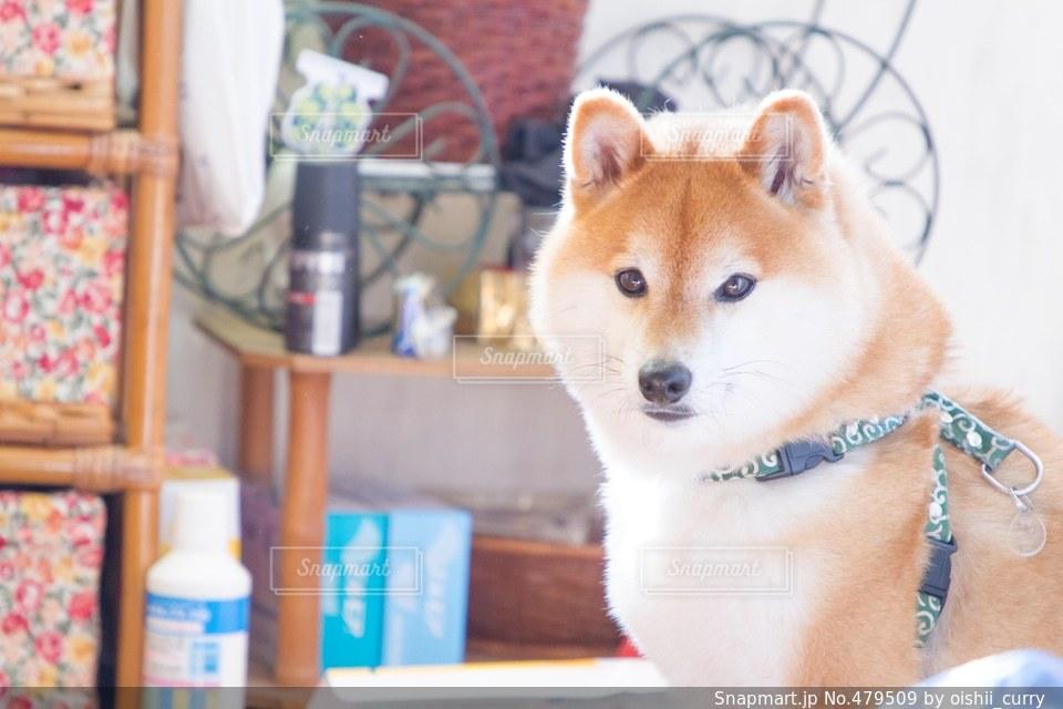 犬の写真・画像素材[479509]