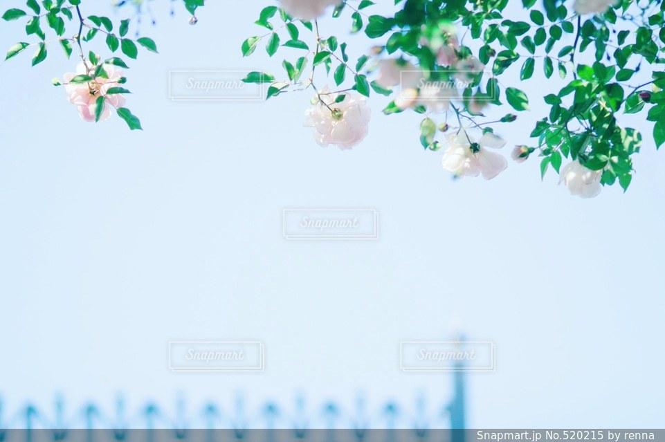 花の写真・画像素材[520215]