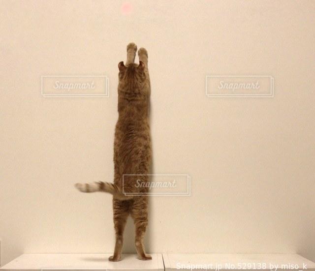 猫の写真・画像素材[529138]