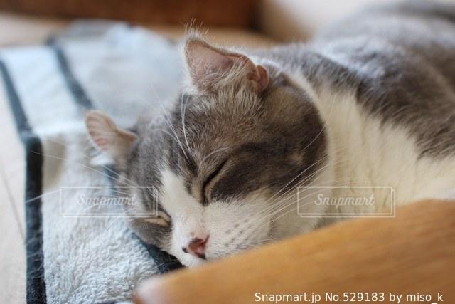 猫の写真・画像素材[529183]