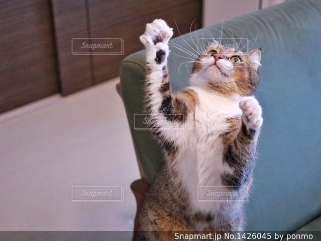 カメラを見ている猫の写真・画像素材[1426045]