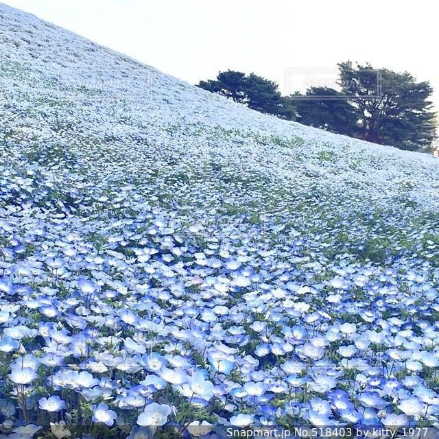 青い花の写真・画像素材[518403]
