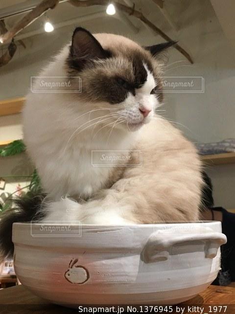 猫鍋 鍋の上に座る猫カフェの猫様の写真・画像素材[1376945]