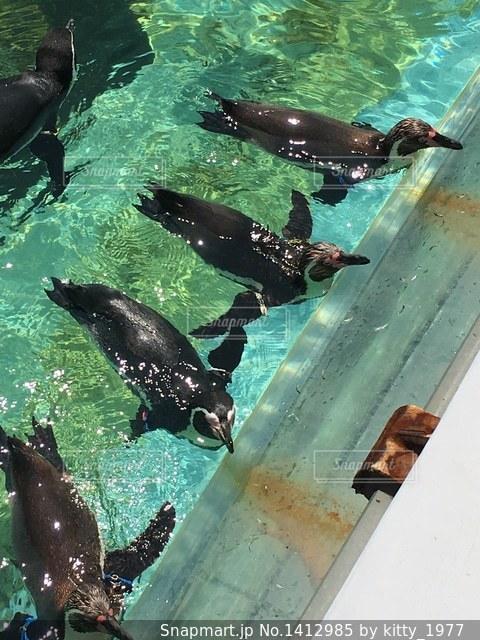 水族館で並んでアピールするペンギンたちの写真・画像素材[1412985]