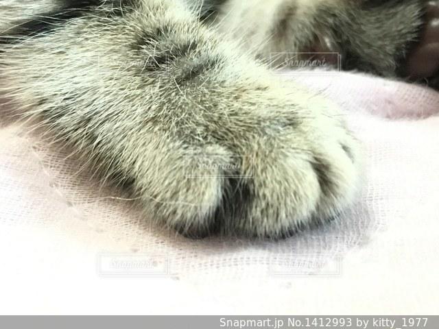 マンチカンの子猫のおてての写真・画像素材[1412993]