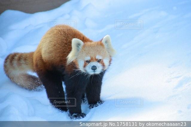 雪の中で立っているパンダのクマの写真・画像素材[1758131]