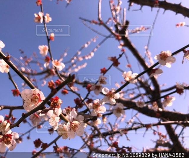 梅の花の写真・画像素材[1059829]