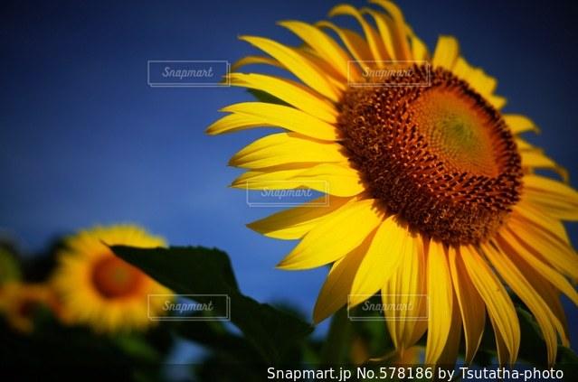 花の写真・画像素材[578186]
