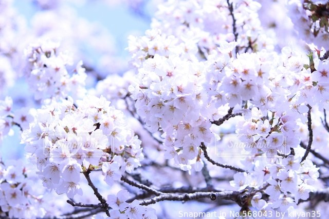 桜の写真・画像素材[568043]
