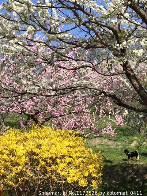 梅の花が咲く公園での写真・画像素材[1177526]