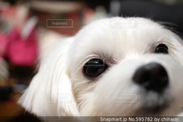 犬の写真・画像素材[595782]