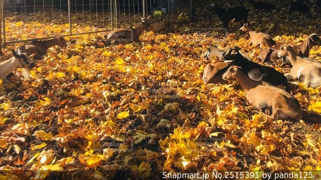 山羊と落ち葉の写真・画像素材[2515391]