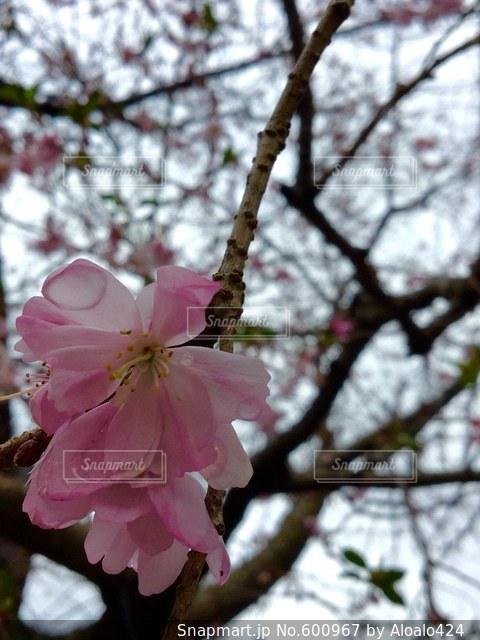花の写真・画像素材[600967]
