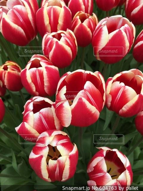 花の写真・画像素材[604763]