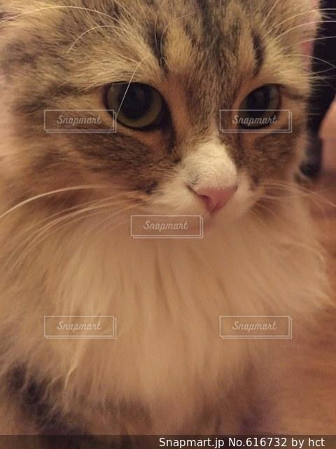 猫の写真・画像素材[616732]