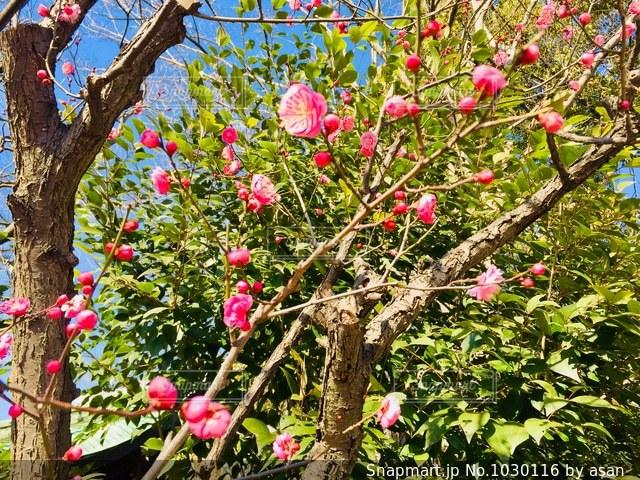 椿の花です。鮮やかなピンク色で咲いていて、綺麗でした!の写真・画像素材[1030116]