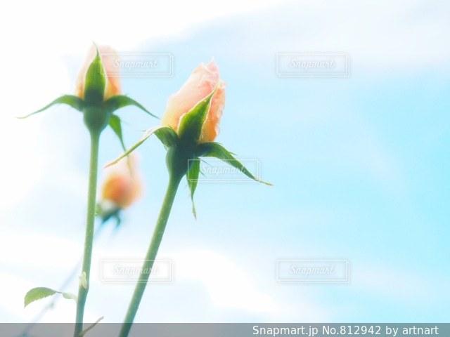 薔薇の蕾の写真・画像素材[812942]