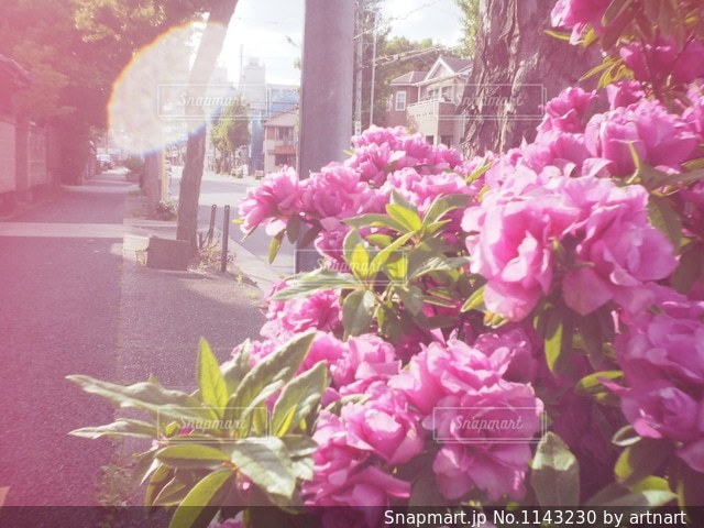 ツツジの写真・画像素材[1143230]