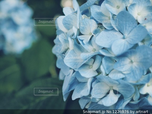 紫陽花の写真・画像素材[1226976]