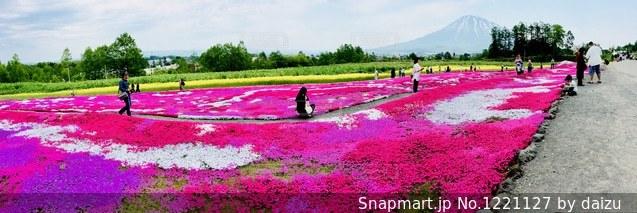 三嶋さんちの芝桜の写真・画像素材[1221127]