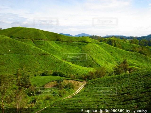 マレーシアの茶畑の写真・画像素材[960869]