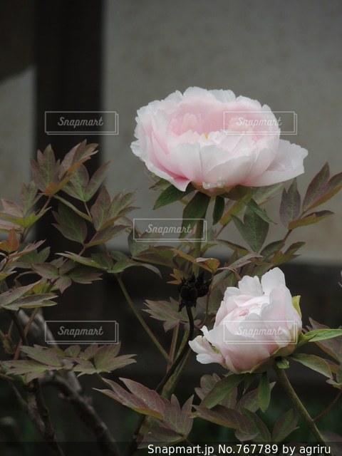 牡丹の花の写真・画像素材[767789]