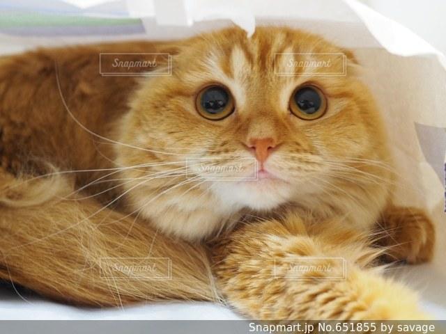 猫の写真・画像素材[651855]