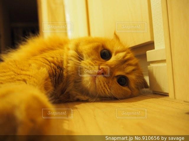 横になって、カメラを見ている猫の写真・画像素材[910656]