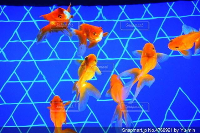 金魚の写真・画像素材[4768921]