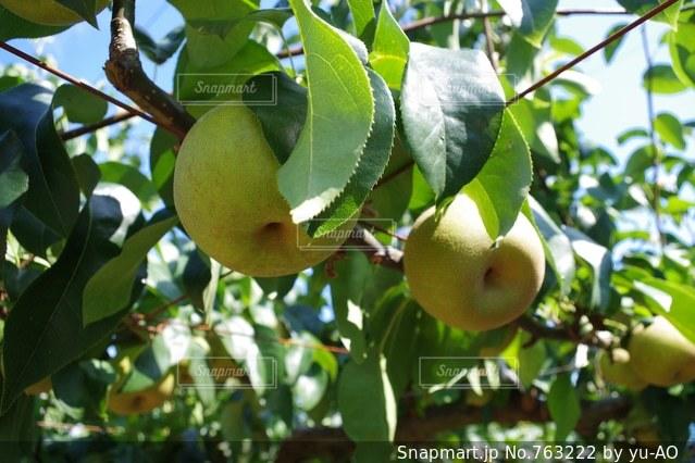 木の枝にぶら下がっている果実の写真・画像素材[763222]