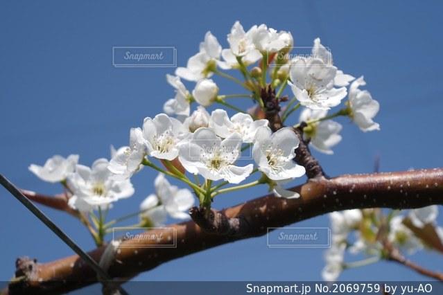 梨の花の写真・画像素材[2069759]