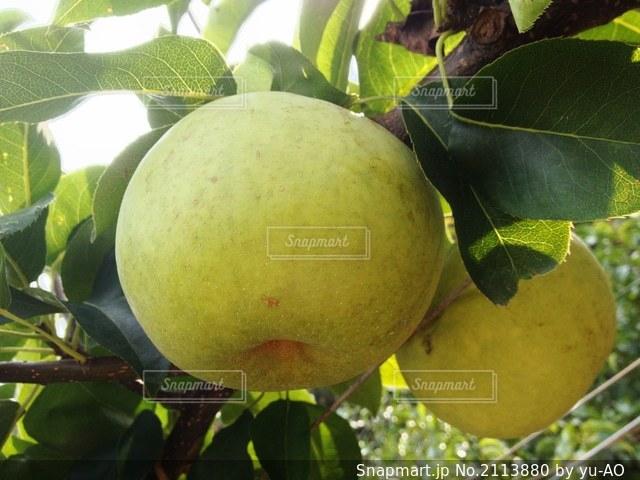 枝からぶら下がっている果物(秋麗)の写真・画像素材[2113880]