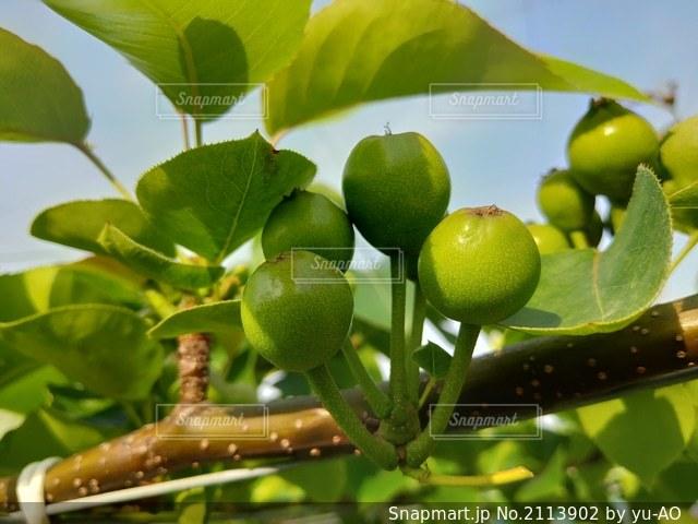 梨の摘果前の写真・画像素材[2113902]