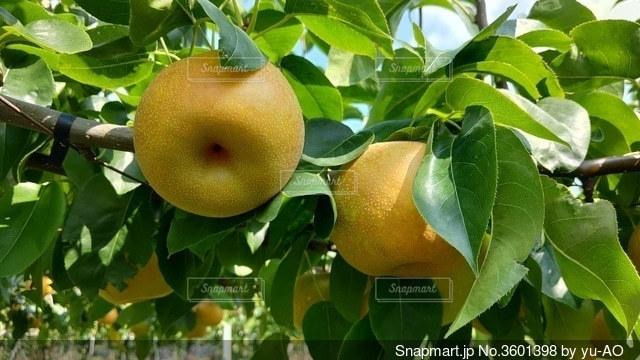 梨の幸水の写真・画像素材[3601398]