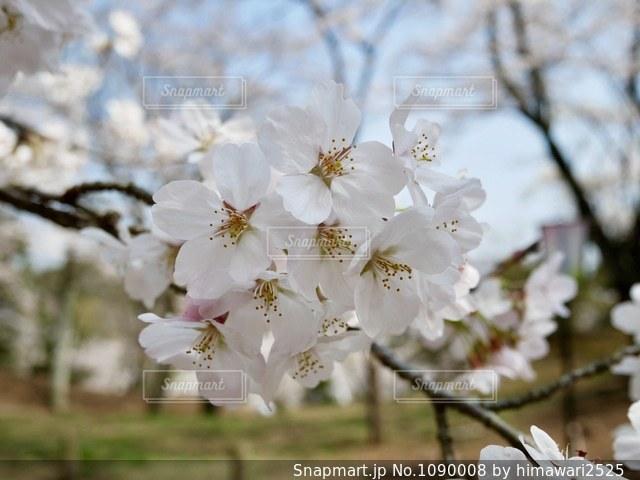 水戸の桜山🌸桜きれい🌸💕の写真・画像素材[1090008]