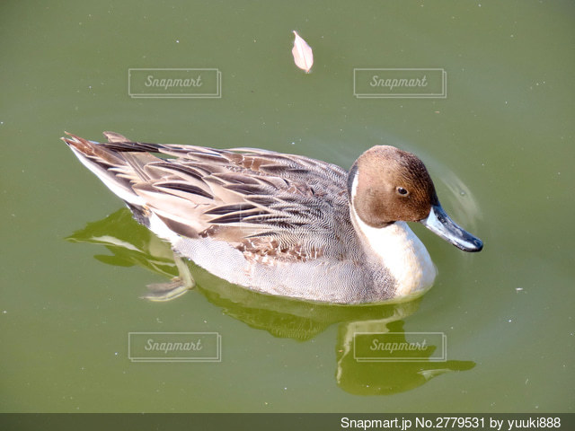 鴨の写真・画像素材[2779531]