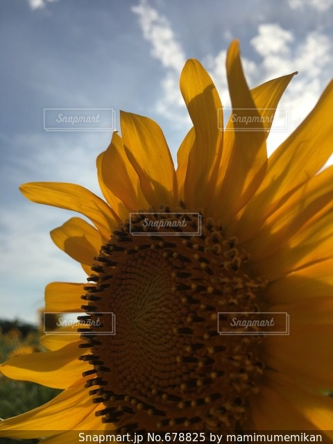 夏 ひまわり 向日葵 夏休み ひまわり畑の写真・画像素材[678825]