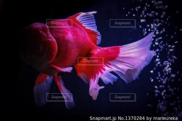 金魚の写真・画像素材[1370284]