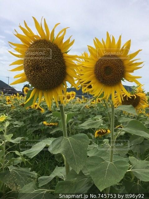 黄色の花の写真・画像素材[745753]