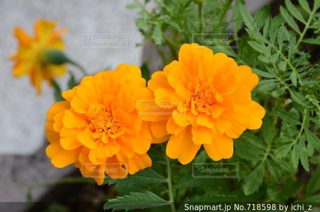 近くの花のアップの写真・画像素材[718598]