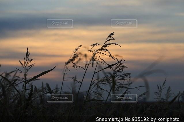 朝を迎えるアシの植物たちの写真・画像素材[935192]