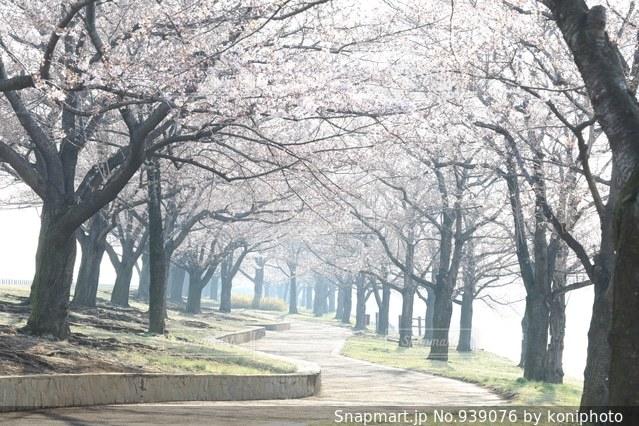 桜並木の写真・画像素材[939076]