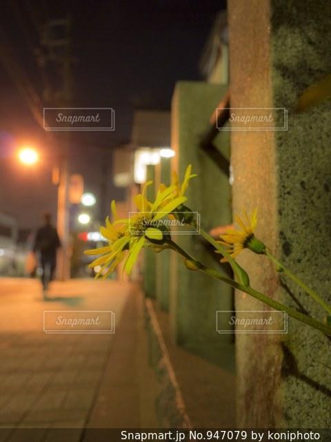 夜道に咲くツワブキの写真・画像素材[947079]
