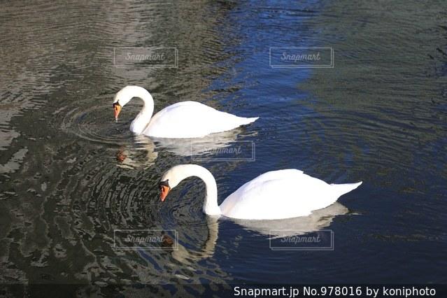 泳ぐ二羽の白鳥の写真・画像素材[978016]
