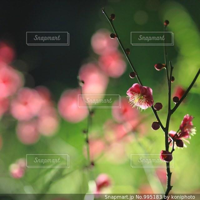 夜に咲く梅の花の写真・画像素材[995183]