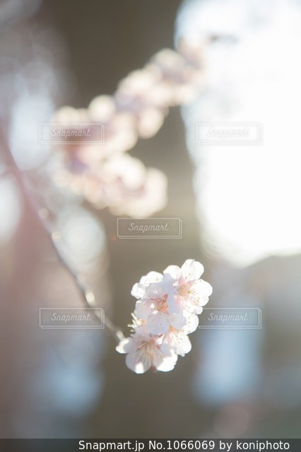 太陽の光を浴びる白梅の花の写真・画像素材[1066069]