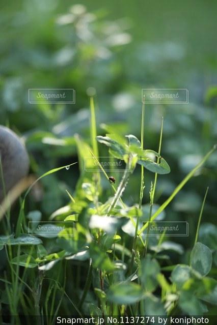 朝の活動を始めるテントウムシの写真・画像素材[1137274]