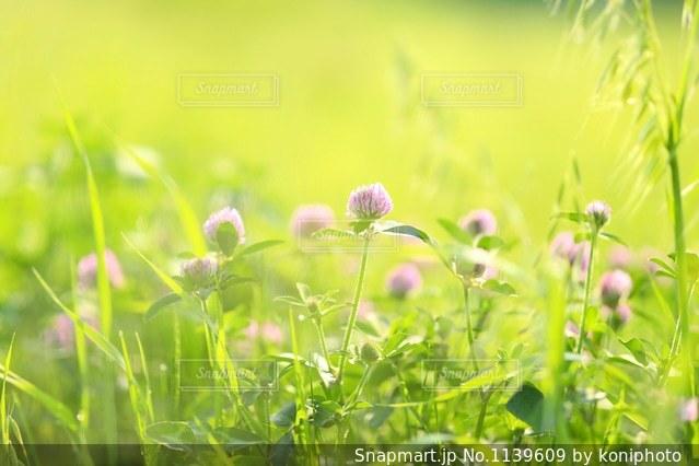 朝陽を浴びるアカツメクサの写真・画像素材[1139609]