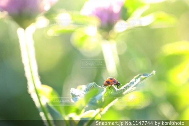 アカツメクサの葉を歩くテントウムシの写真・画像素材[1147744]